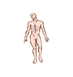 Gross Anatomy Male Standing Woodcut vector image