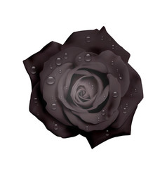 Realistic black rose with water drops isolated on vector
