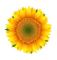 Sunflower isolated on white vector image