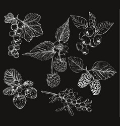 sketch of berries set of vector image
