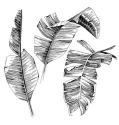 hand drawn banana palm leaves vector image