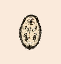 Hedgehog lay down belly up spiny forest vector