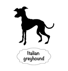 Italian greyhound vector