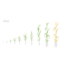 Wheat plant growth stages development triticum vector