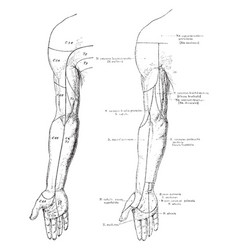 Cutaneous nerves of the front of the arm vintage vector