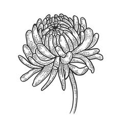 Chrysanthemum flower sketch engraving vector