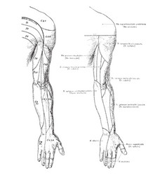 Cutaneous nerves of the back of the arm vintage vector