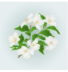 Flower jasmine branch isolated on blue background vector