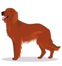 Irish red setter dog vector