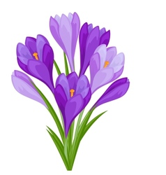 Bouquet flowers crocus on white background vector