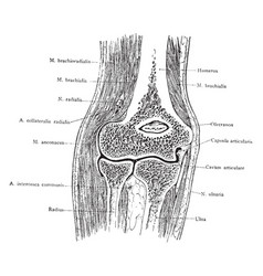 Frontal section through the elbow vintage vector