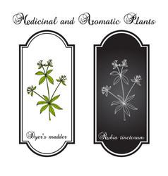 dyer s madder rubia tinctorum medicinal plant vector image