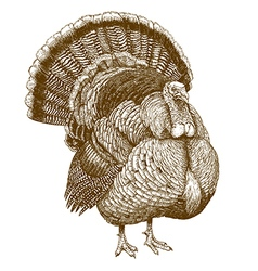 Engraving turkey vector