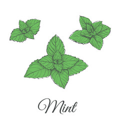 mint plant green set vector image vector image