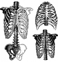 Anatomical chest drawings vector