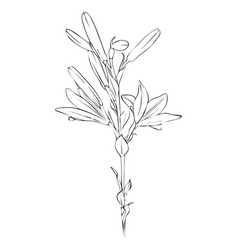 drawing flower of lily vector image