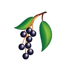 Hackberry prunus padus berries with leaves vector image