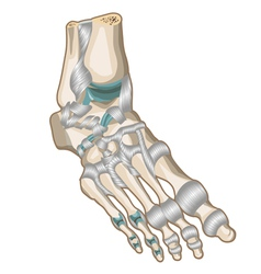 Ligaments and joints of the foot vector