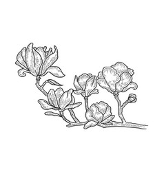 magnolia tree blossom sketch engraving vector image
