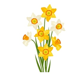 Bouquet of flowers narcissus on white background vector