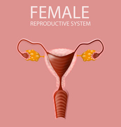 Close up view female reproductive system banner vector