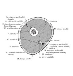Cross section through middle thirds of the upper vector