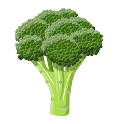 green broccoli vegetable vector image