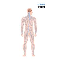 Human nervous system parasympathetic sympathetic vector