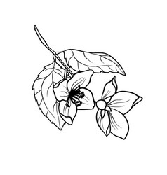 jasmine branch graphic in coloring vector image