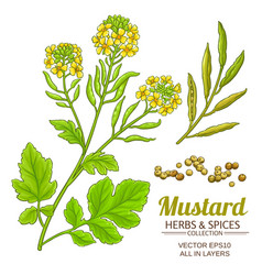 Mustard plant isolated on white background vector