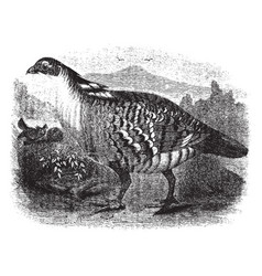 Pinnated grouse vintage vector