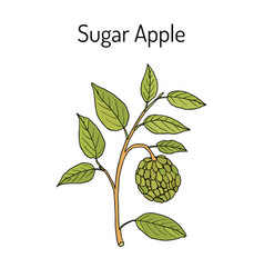 Sugar-apple annona squamosa fruit plant vector