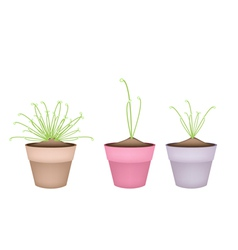 Three Cyperus Papyrus Plant in Ceramic Flower Pots vector image vector image