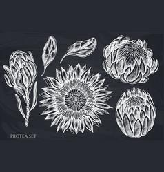 Set hand drawn chalk protea vector