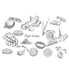 set hand drawn of ginger roots lives flowers and vector image