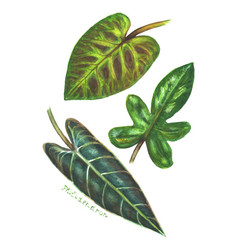 Set of philodendron leaves vector
