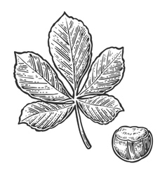 Chestnut leaf and nut vintage engraved vector