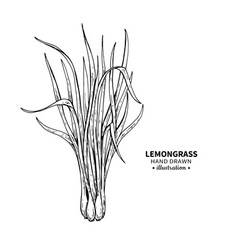 lemongrass drawing isolated vintage vector image
