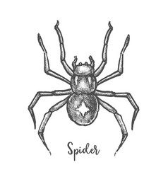 black widow spider sketchhand drawn halloween bug vector image