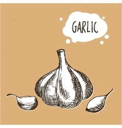Garlic in engraving vintage style Hand drawn vector