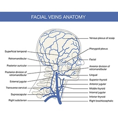 Human facial vein in vector image