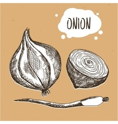 Onion in engraving vintage style hand drawn onion vector