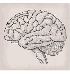 anatomical brain heart hand drawn organ sketch vector image