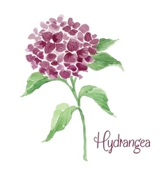 Branch of burgundy hydrangea vector image