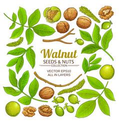 Walnut plant elements on white background vector