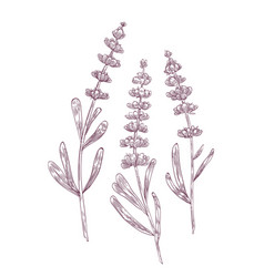 Botanical drawing of lavender flowers and leaves vector