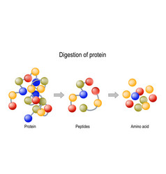 Digestion protein enzymes proteases and vector