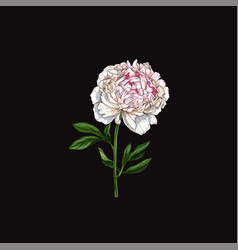 hand drawn gently pink peony flower isolated vector image