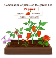 growing vegetables and plants on one bed pepper vector image