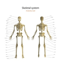 Anatomy guide of human skeleton with explanations vector image vector image